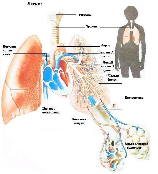 Лёгкие. всех. рыб. человека. греч. pulmo. pneumon) - органы воздушного дыхания у. пресмыкающихся. млекопитающих.