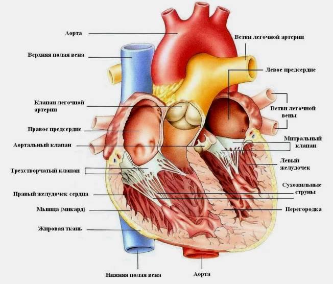 Человека сердце схема