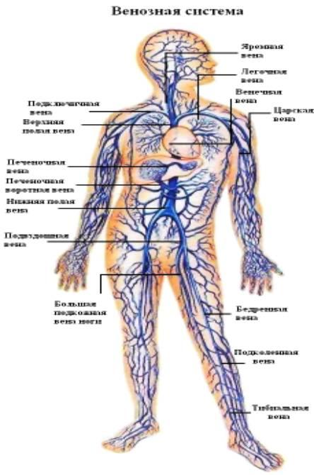 Рисунок артерий притока крови к пенису